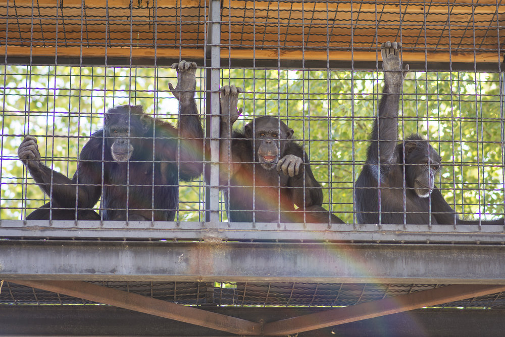 Three chimpanzees from Chimps Inc. in Sisters, Oregon, relax in a catwalk that connects their indoor enclosure with their outdoor playground. These chimps have been rescued from neglect and will live out their lives on the property.