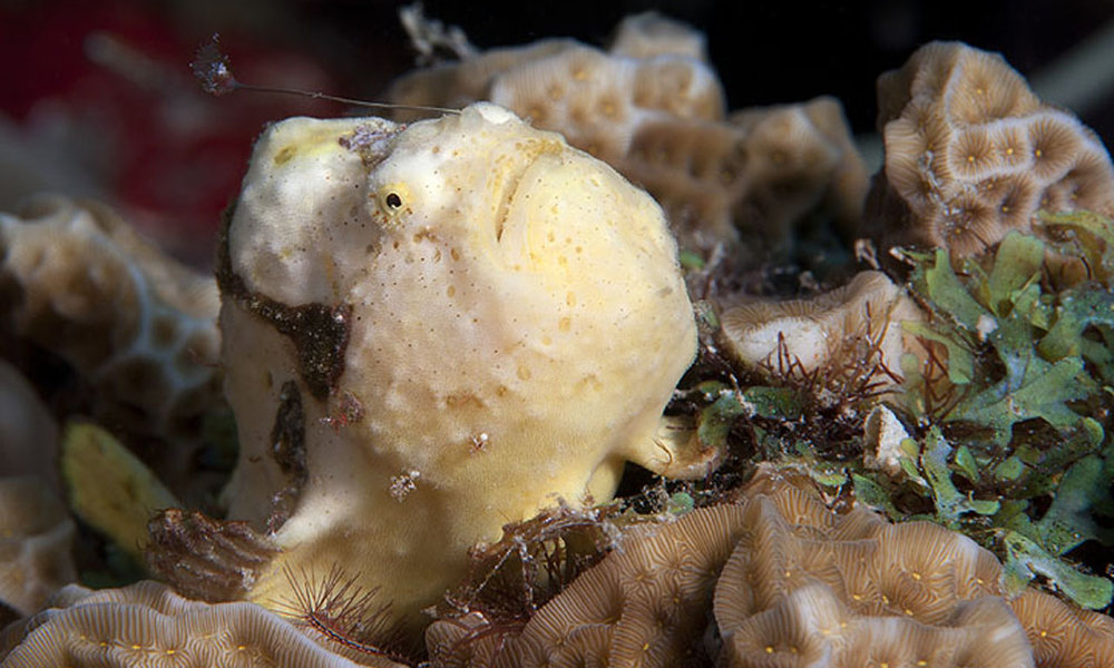 yellowfrogfish.jpeg