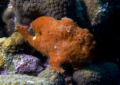 Red Frogfish.jpg