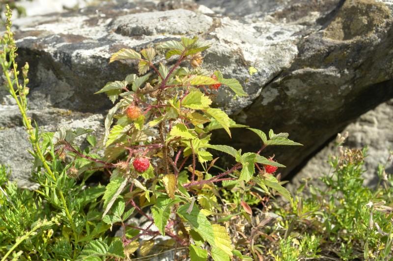 Above, Rubus idaeus, raspberry, edible and tasty