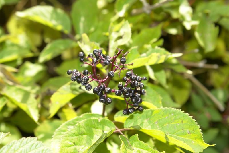 Elderberry,genus Sambucus, andthe seeds contain hydrocyanic acid, and cause diarrhea and nausea if eaten in quantity.