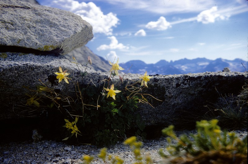 Above: Columbine found on the top of Forester Pass.
