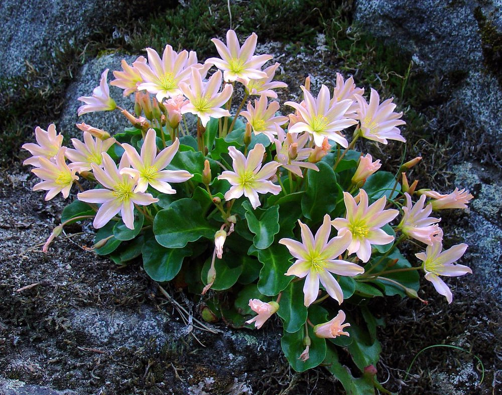 A gentle belle--resplendent in a muted setting of sharp needles, gritty soil and cold stone--Tweedy's Lewisia clings to life in the least likely of environments.