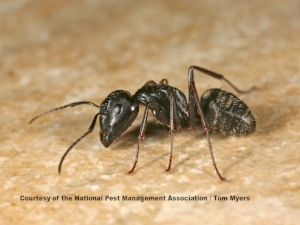 carpenter-ant-img_3011.jpg