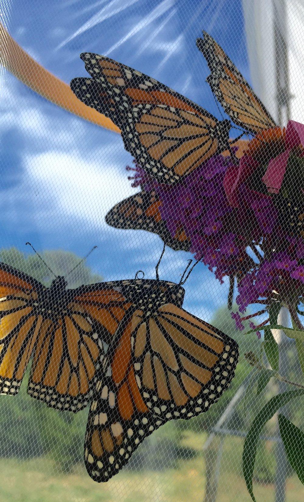 Butterflies Ready for Release