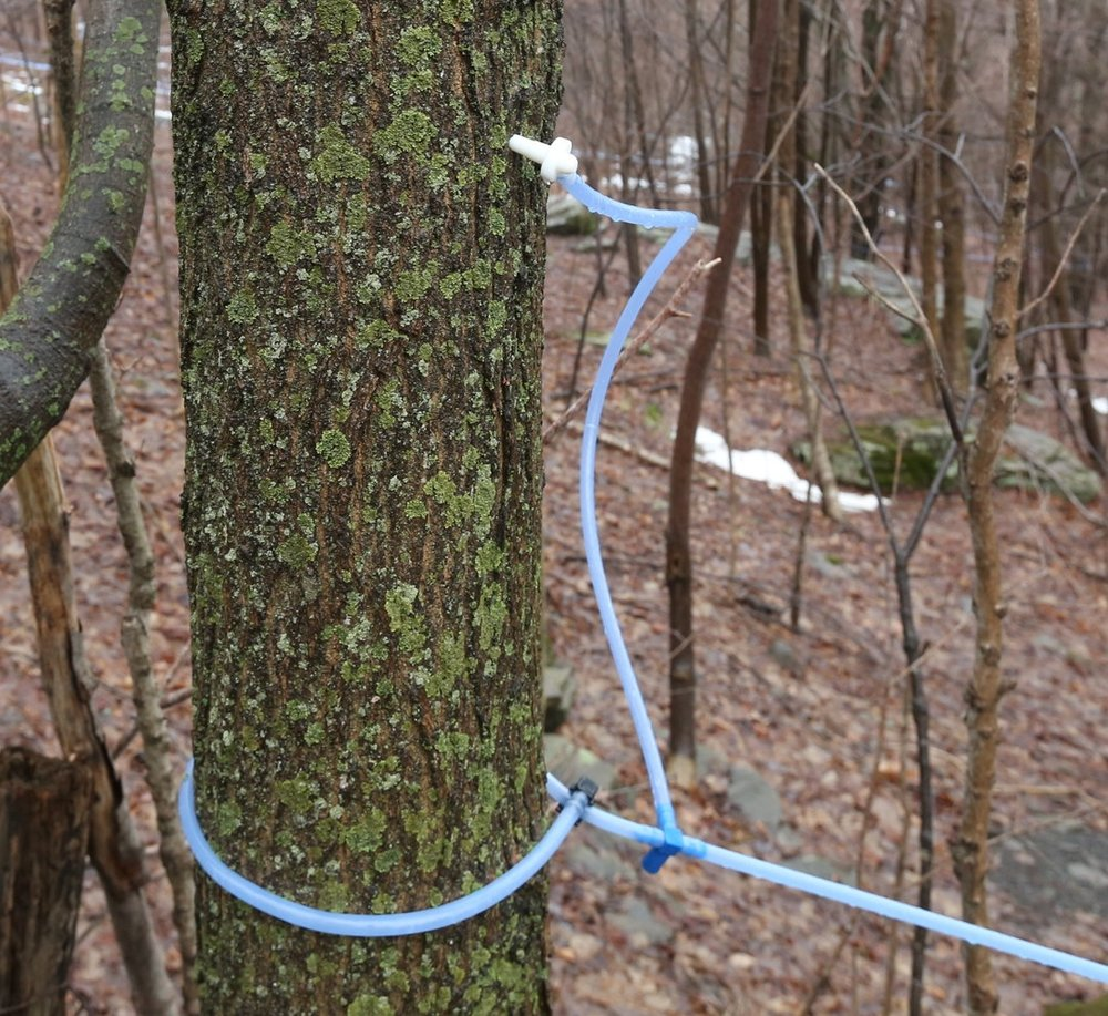 Tapping - Each January we drill a small hole in each maple tree and gently tap in a spout that will carry the sap into the tubing system. This process is repeated about 25,000 times until all of our maple trees are tapped.