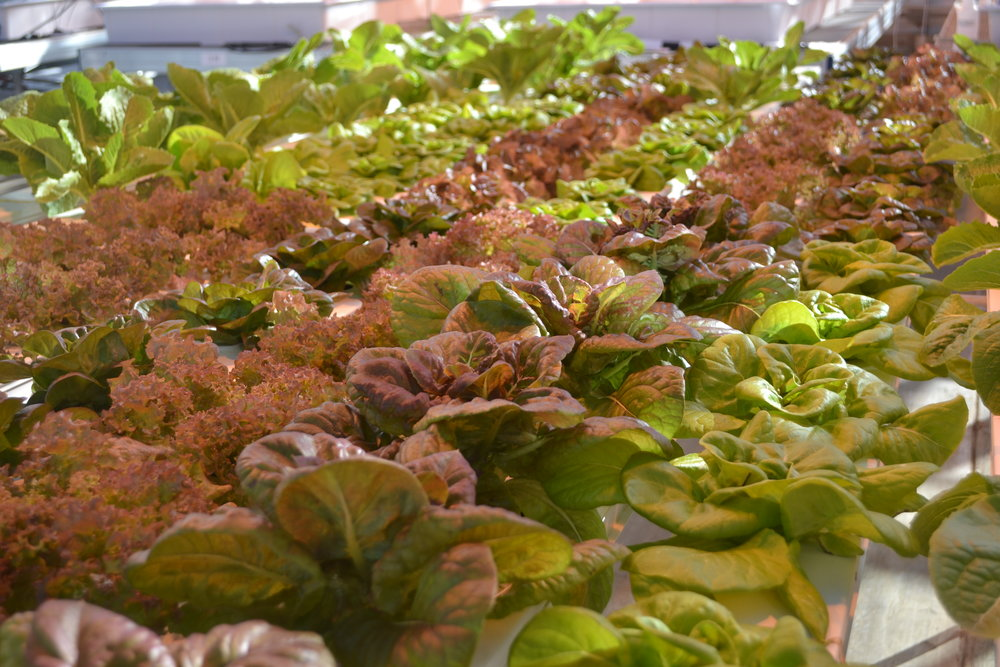 Cornell Lettuce
