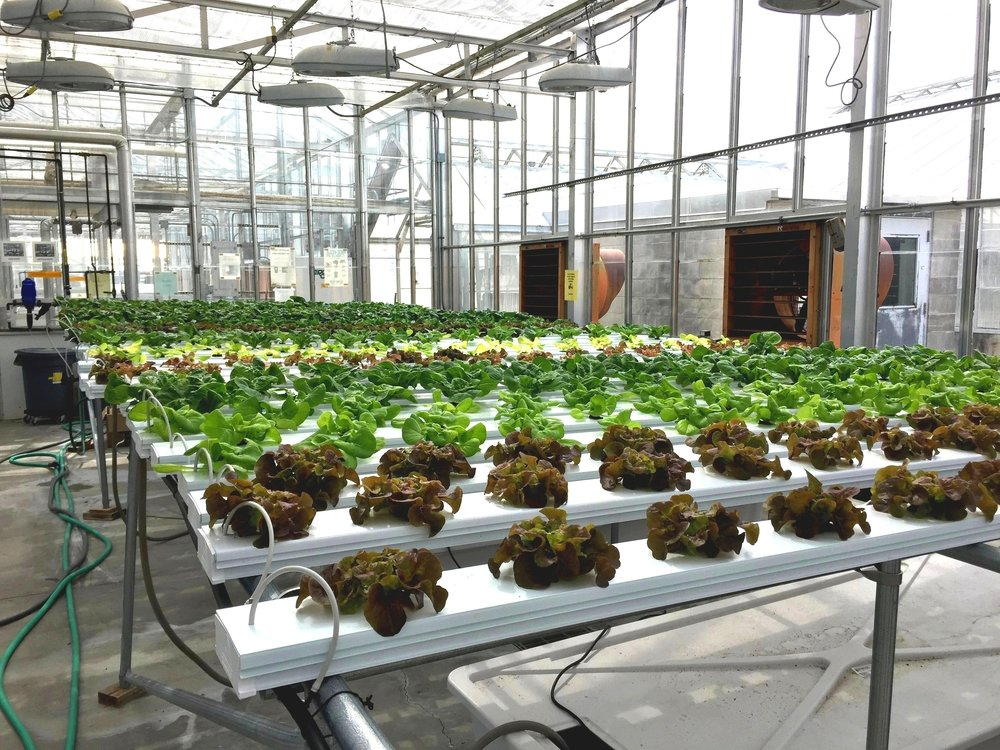 Experimenting in one of Cornell's Greenhouses