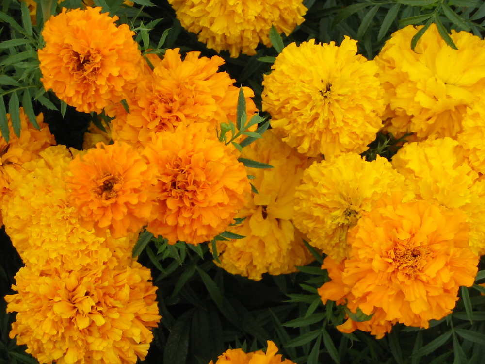 Z-Marigold2.JPG