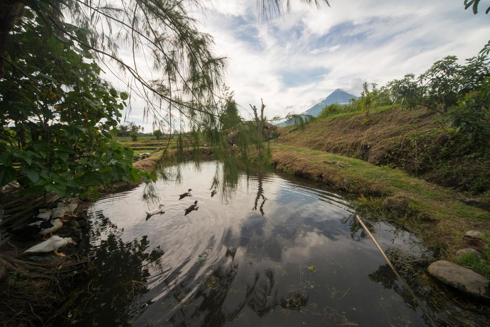 Ducks on a pond in front of Mount Mayon