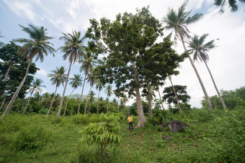 Pili Trees Mount Mayon The Philippines