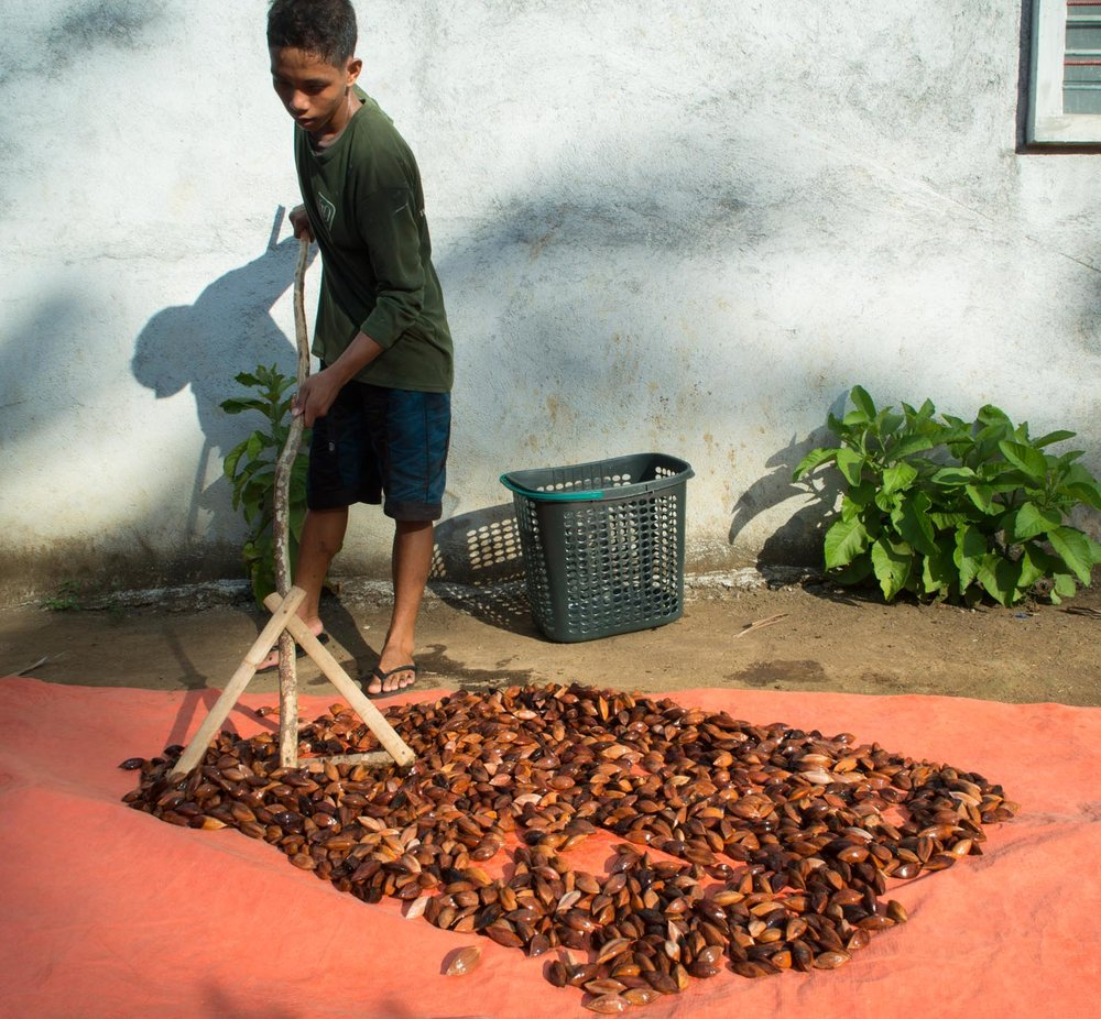 Spreading Mount Mayon Volcanic Pili Nuts