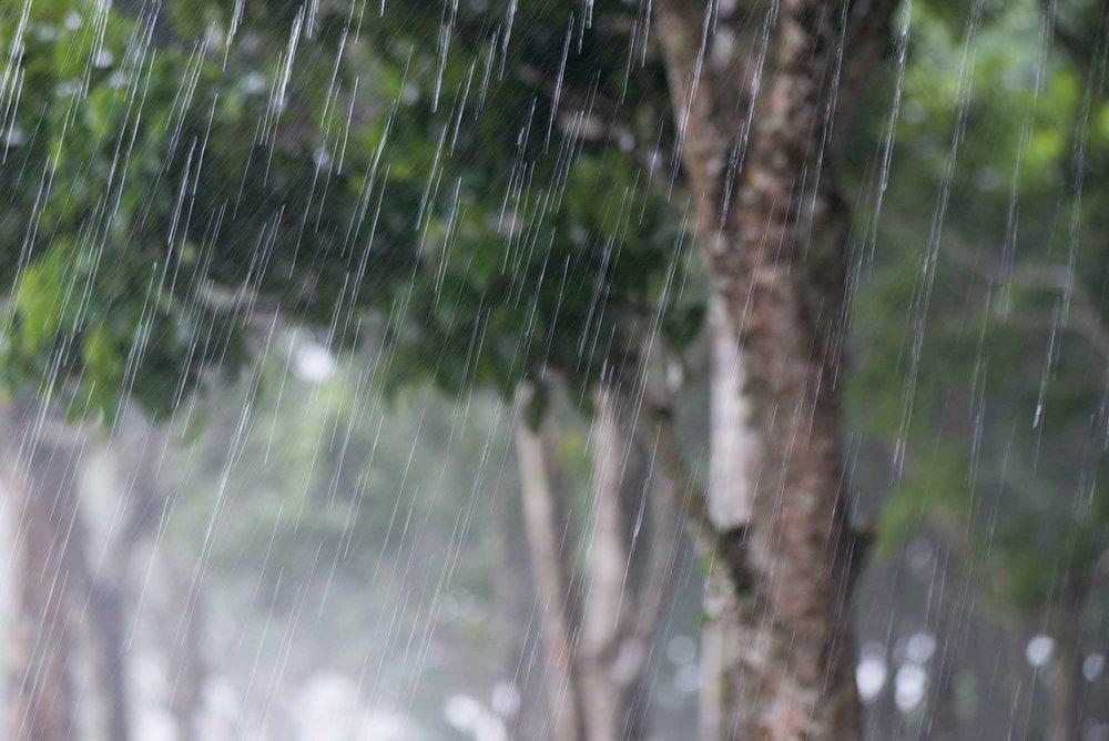 Pili trees in the Mount Mayon rainy season