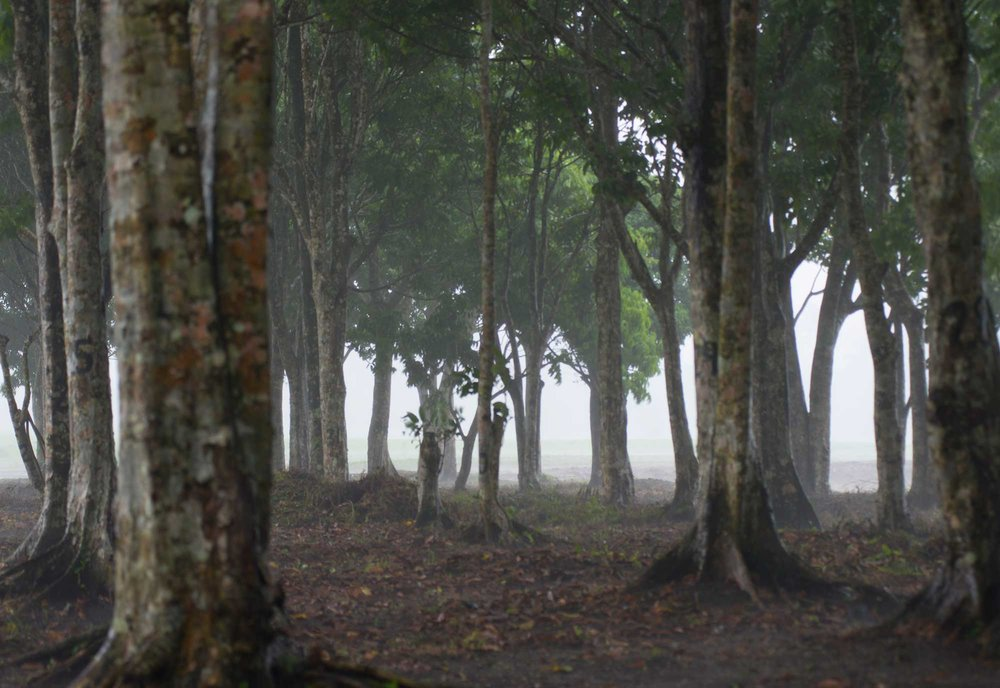 Pili trees in the shadow of Mount Mayon The Philippines