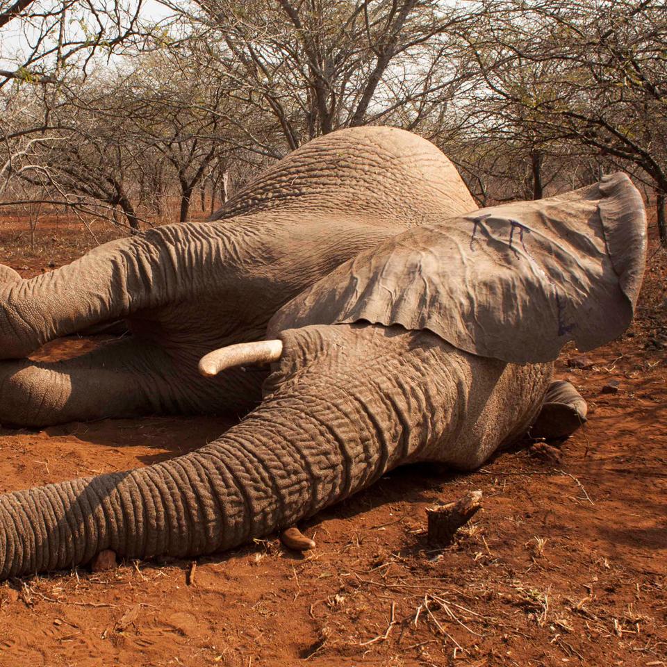 ELEPHANT COLLARING >