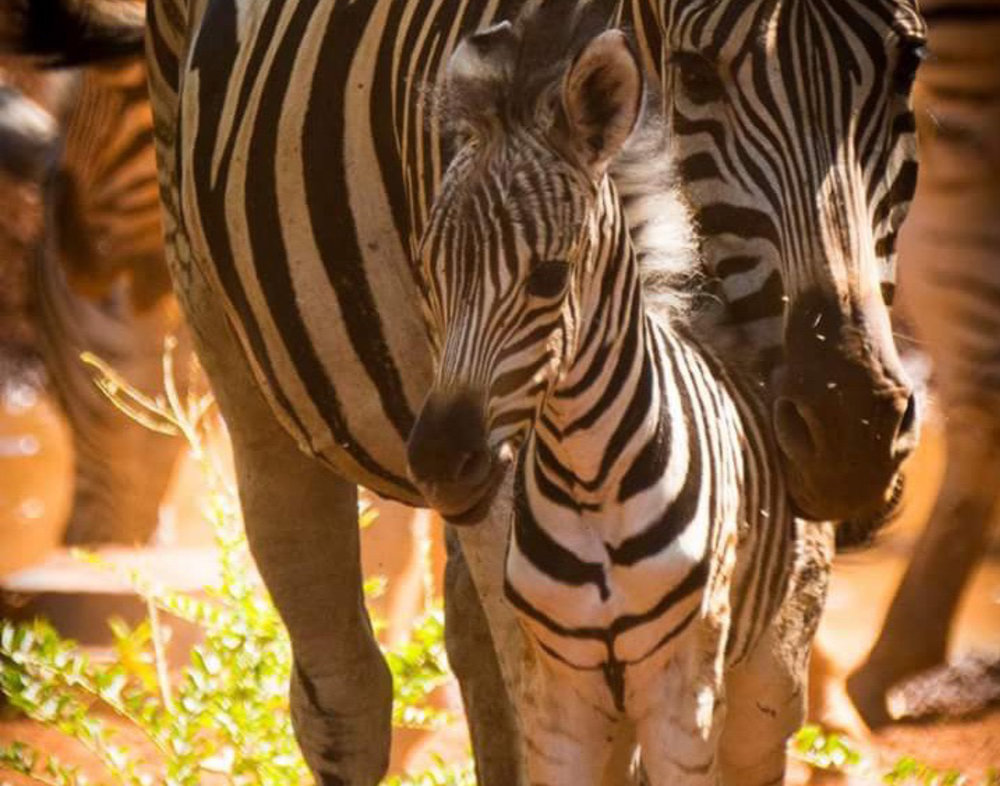 Our first baby zebra born in 2016
