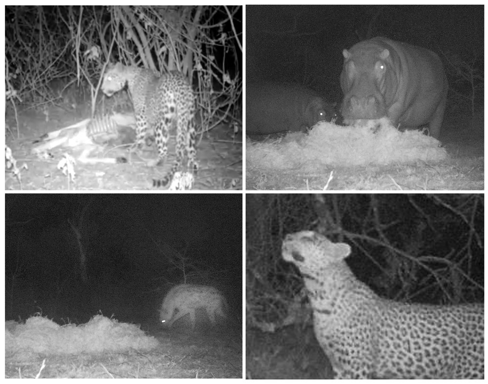 Copy of camera trap images of animals