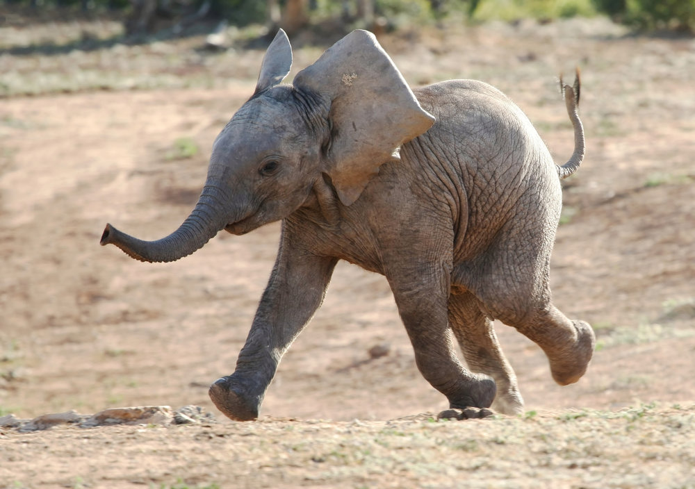 baby_elephant_small.jpg