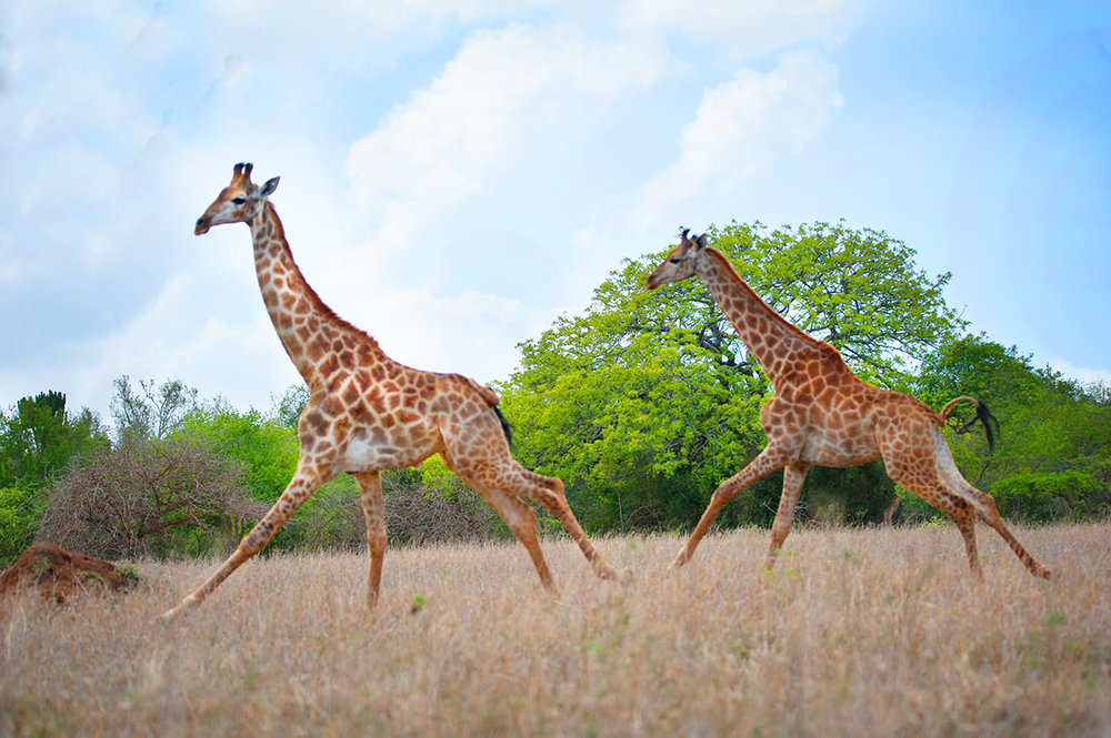 Two giraffe run free at the moment of release on Wild Tomorrow Fund's Ukuwela Conservancy