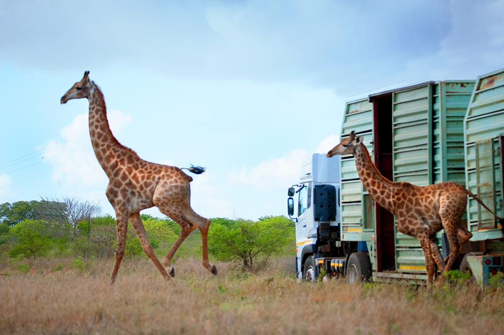 _0002_giraffe-3_small.png
