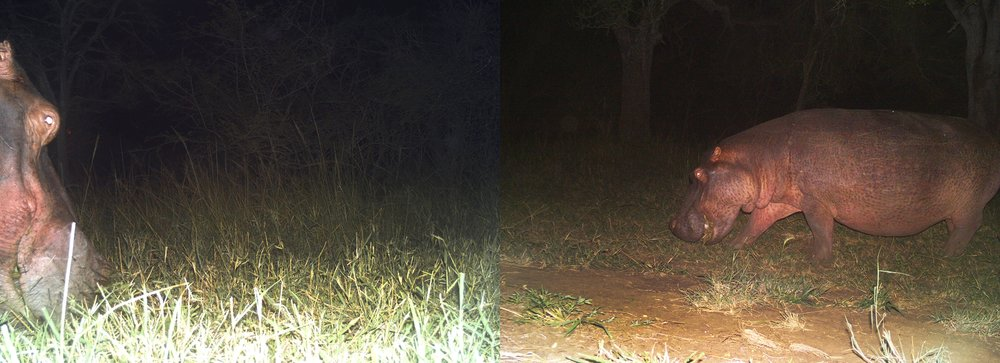 It was the first time we'd seen a hippopotamus  (Hippopotamus amphibius)  on the move and out of the river at Ukuwela, captured here feeding on grass in the cool of the night. These shots was captured at 3am using a motion-triggered flash.