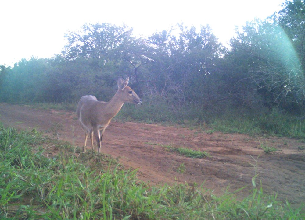 A Common Reedbuck  (Redunca arundinum)  approaching the camera, late afternoon.