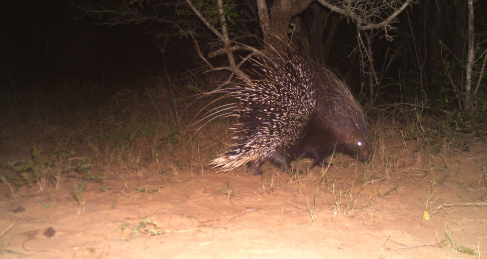 The largest rodent in southern Africa, the Cape Porpcupine (Hystrix africaeaustralis).