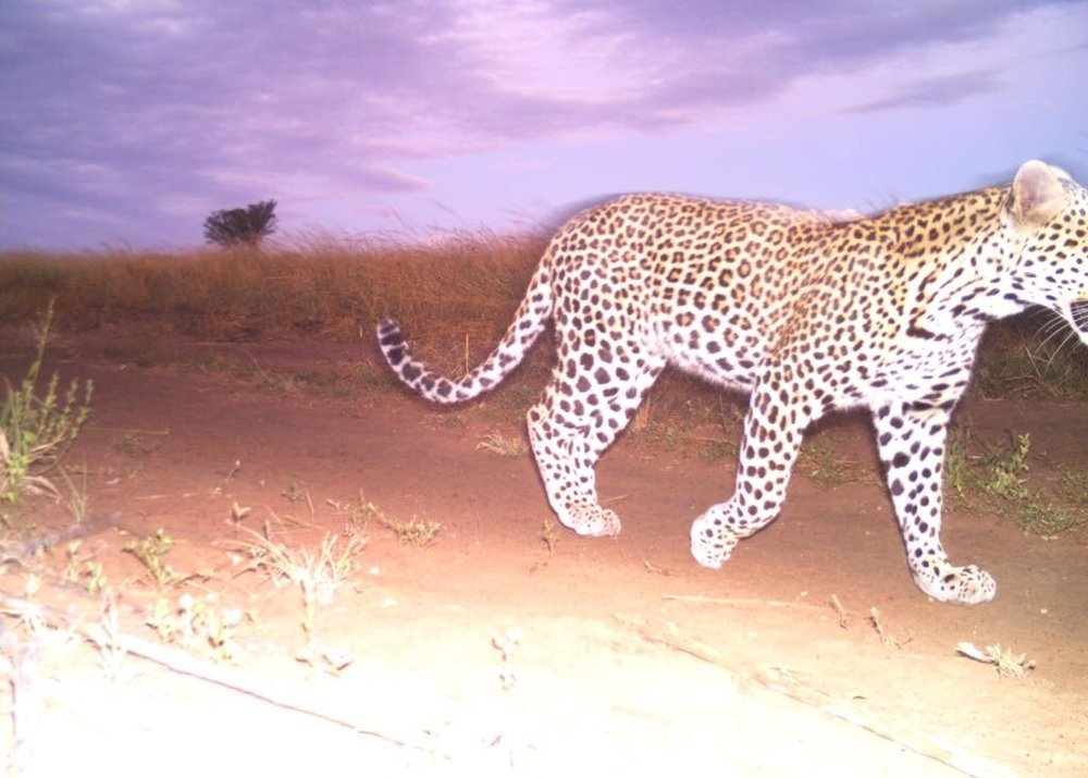 A leopard ( Panthera padres) at sunset on Ukuwela.