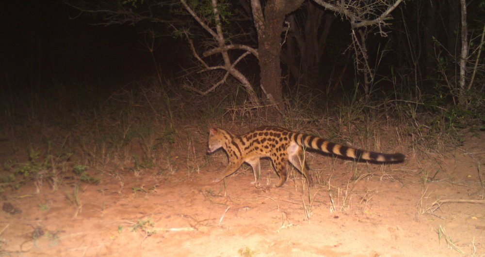 The South African Large Spotted Genet (Genetta tigrina) was captured on camera 32 times during the survey.