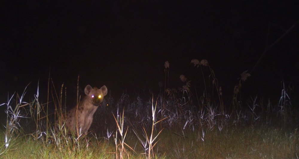 A spotted hyena ( Crocuta crocuta) , eyes bright in the camera flash, looks right at the camera, perhaps hearing the click of the shutter. This photograph was captured prior to the survey.