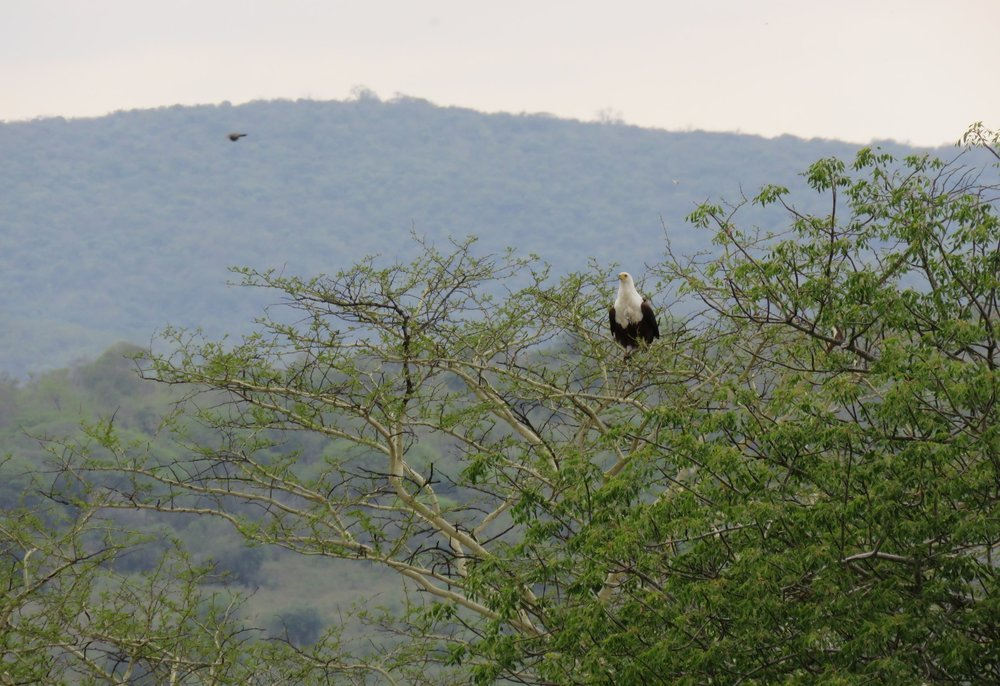 An African Fish Eagle (Haliaeetus vocifer) waiting to feed on termites