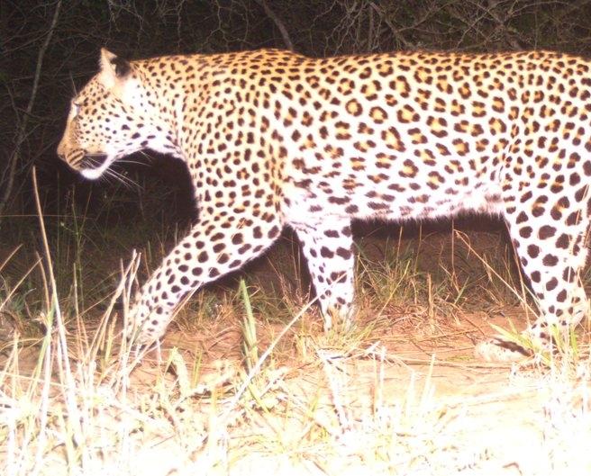 leopard+26-05.jpeg