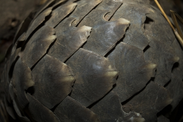 Scales of the Temminck's ground pangolin, the only type of pangolin found in South Africa . Photo Credit: Luke Massey/WildScreen Exchange.