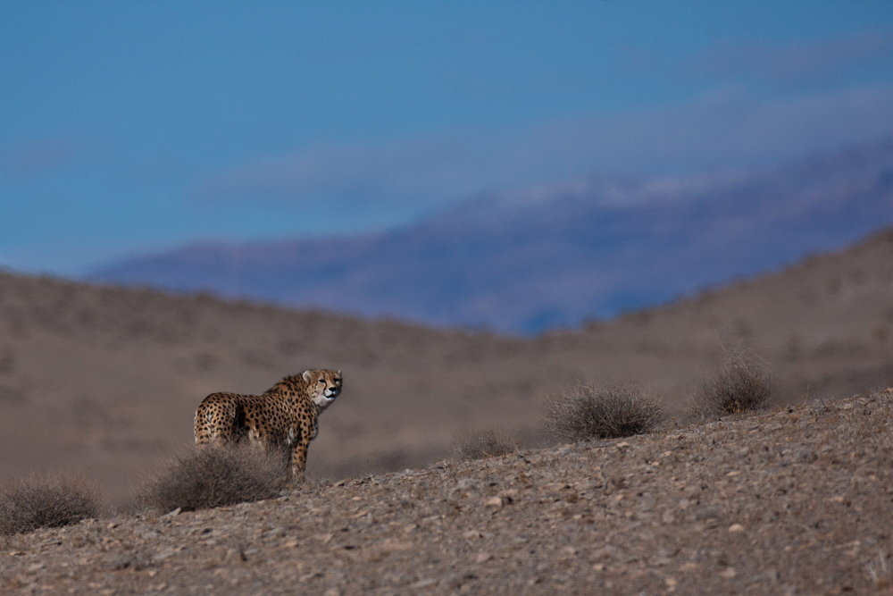 Asiatic cheetah. Only 50 individuals remain.   Photo credit: Ali Mohajeran/WildscreenExchange