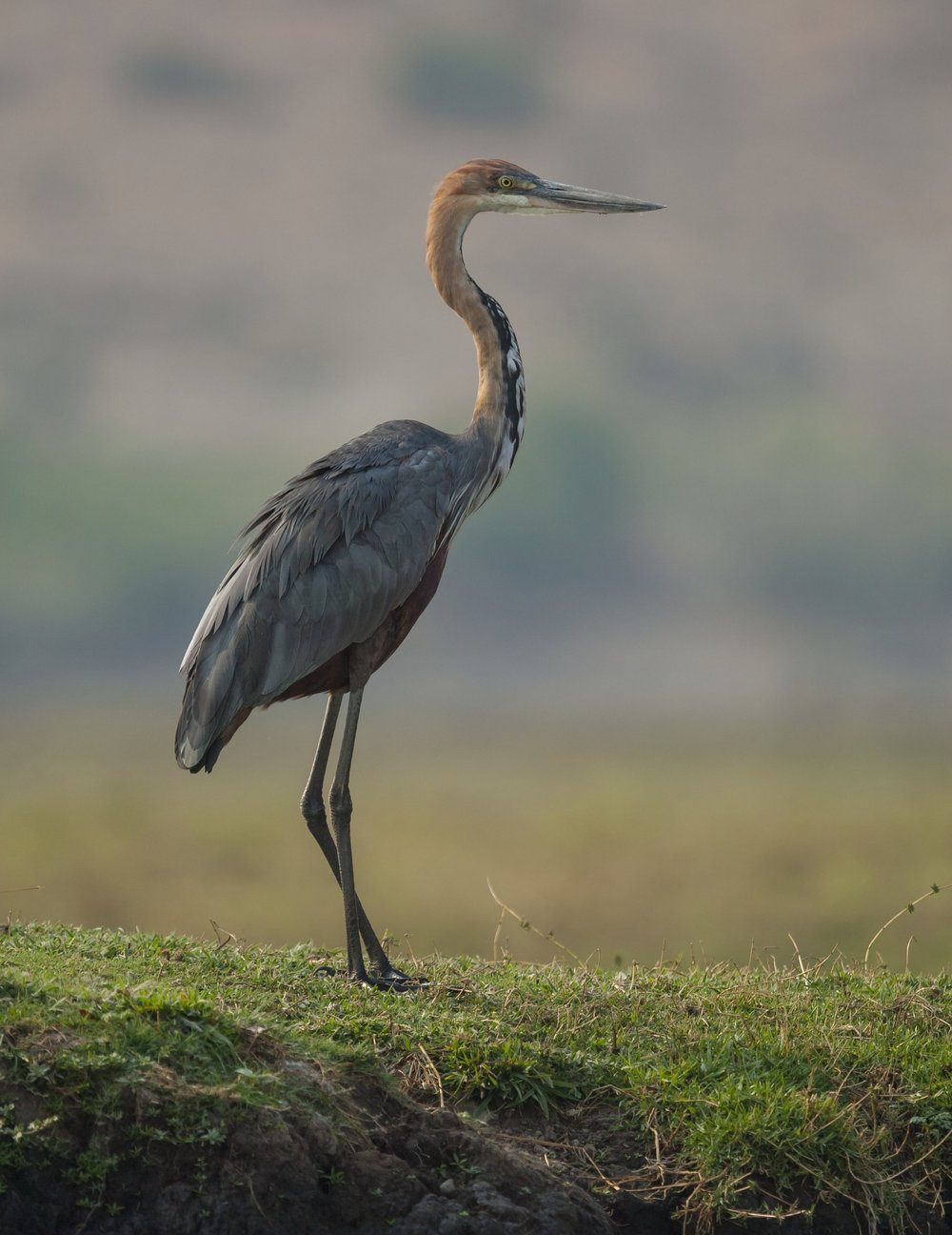 Goliath Heron Wildscreenexchange.jpg
