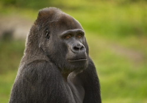 Western lowland gorilla - Photo credit: Geoffrey Oddie/WildScreenExchange