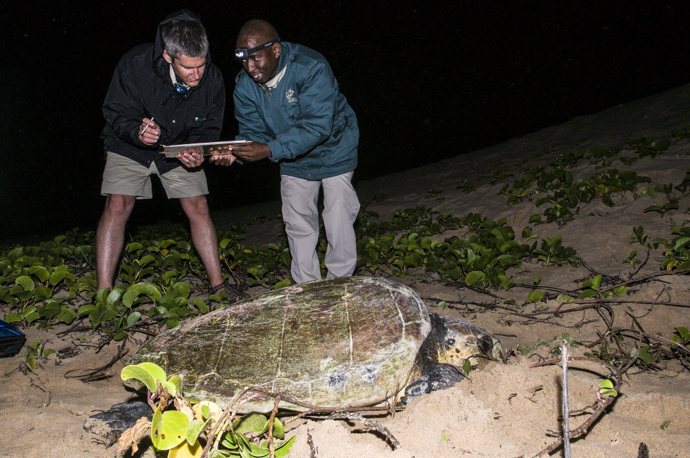 Loggerhead turtle tagging at iSimangaliso Wetland Park. Photo Credit: Peter Chadwick\WildScreen Exchange.