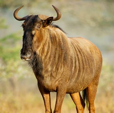 wildebeest rewilding.jpg