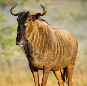 wildebeest+rewilding.jpg