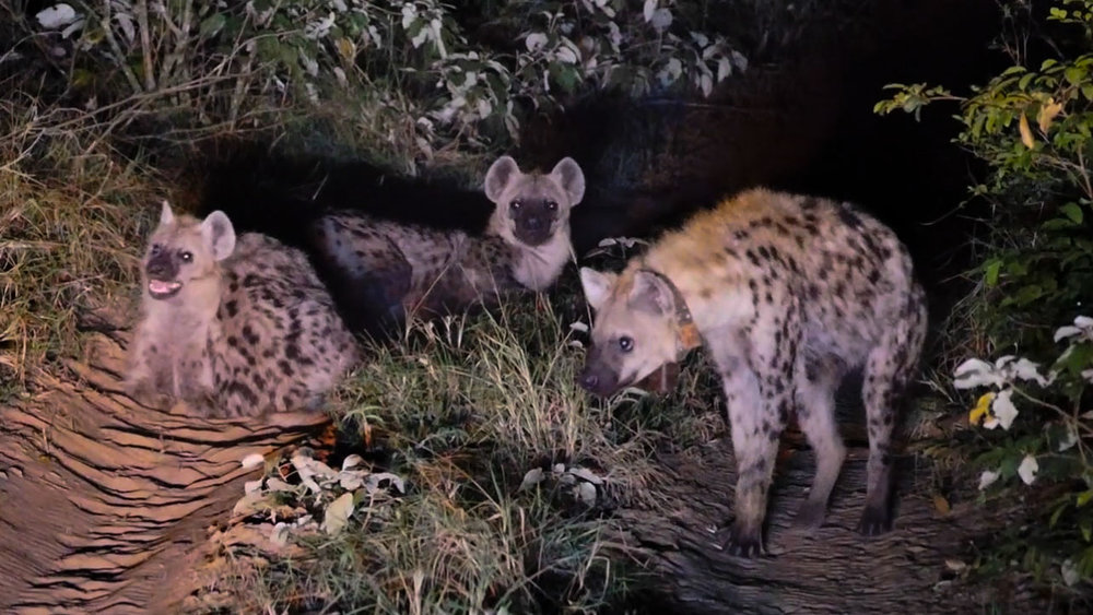 Three male spotted hyenas, one of which was just recently collared, photographed by Axel during an evening monitoring session. Photo: Axel Hunnicutt.