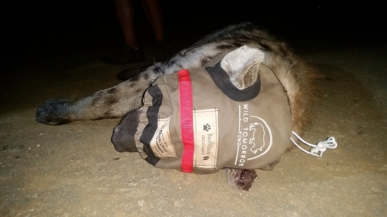 The anesthetized male spotted hyena is blind-folded and monitored before the team commences with the collaring and measuring.