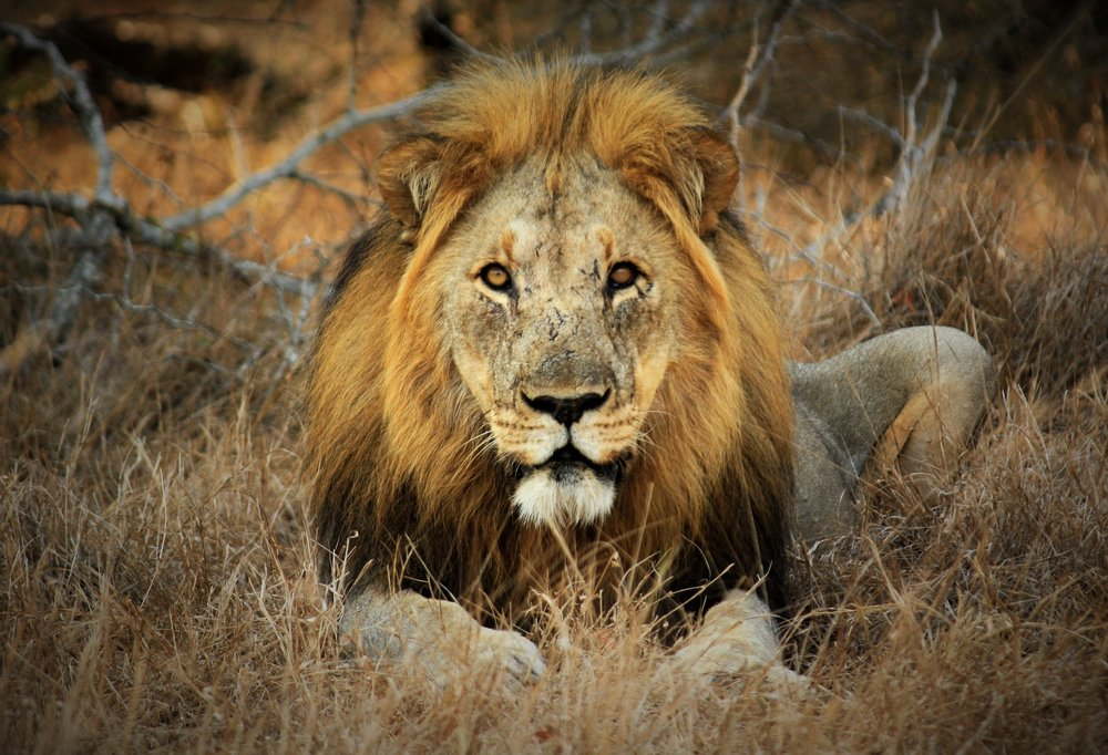 A male lion at Tembe Elephant Park, photographed by Clinton Wright.