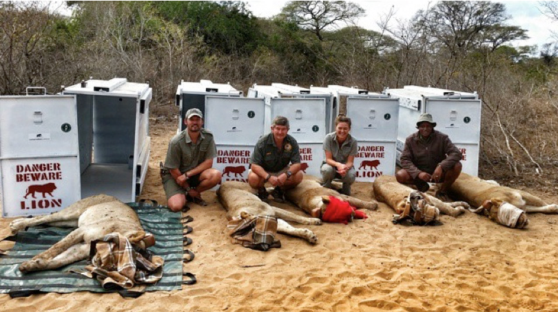 Five donated lionesses, ready for transport to Rwanda, with the conservation team at andBeyond Phinda Private Game Reserve, South Africa. Photo Credit: Simon Naylor.