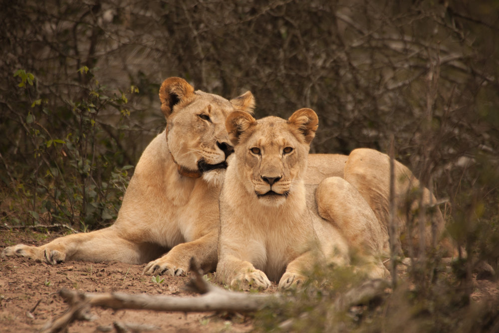 A collared lioness and cub at Tembe Elephant Park, South Africa. Photo Credit: Wendy Hapgood.