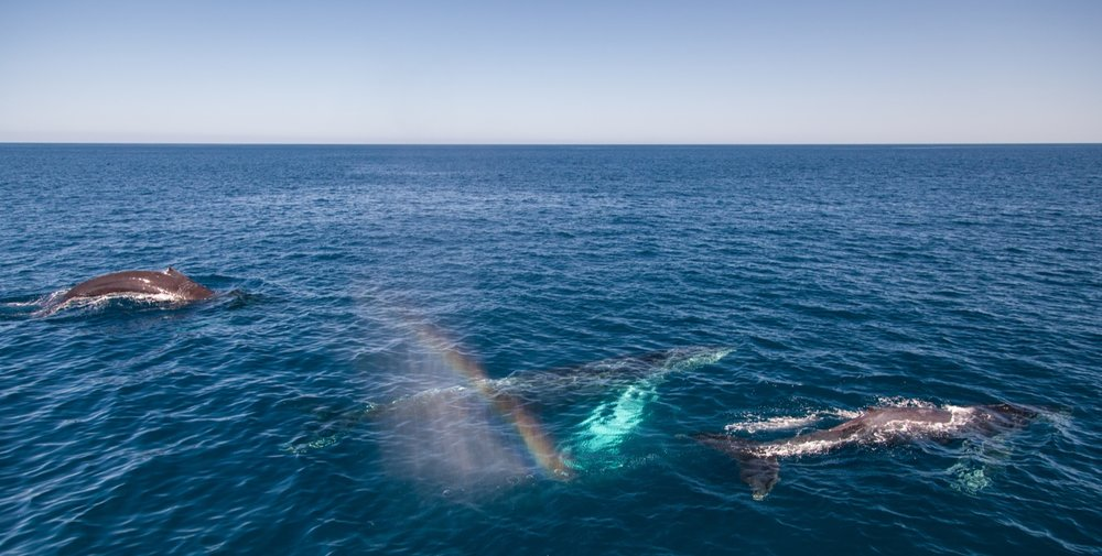 Humpback whales at surface. Photo Credit: Lynsey Smyth/Wildscreen Exchange