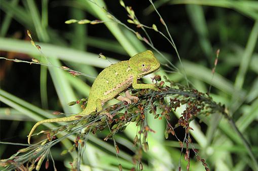 A flap-backed chameleon at Wild Tomorrow Fund's Ukuwela Conservancy.
