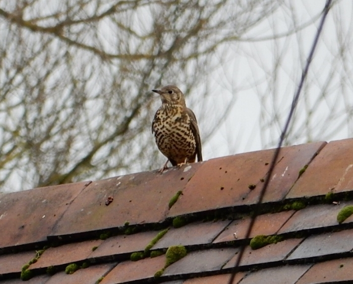 Mistle Thrush up on the housetop, quick quick quick.