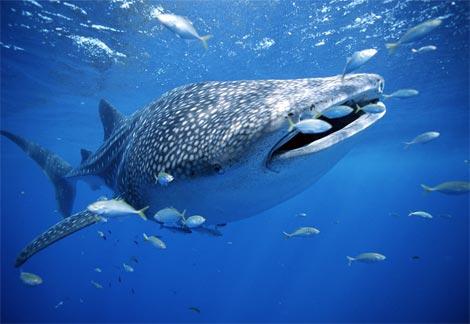 whale-shark-with-fish.jpg