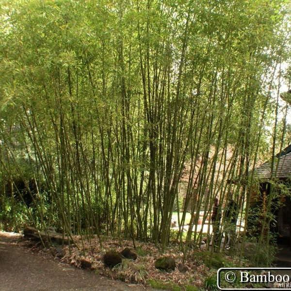 "Phyllostachys bambusoides - aka ""Japanese Timber Bamboo"" or ""Madake"""