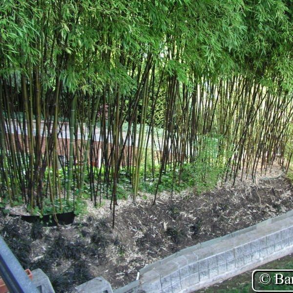 """Phyllostachy nigra - aka """"Black Bamboo"""""""